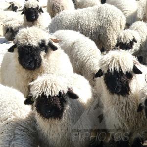 b03-Black-Nosed-Sheep